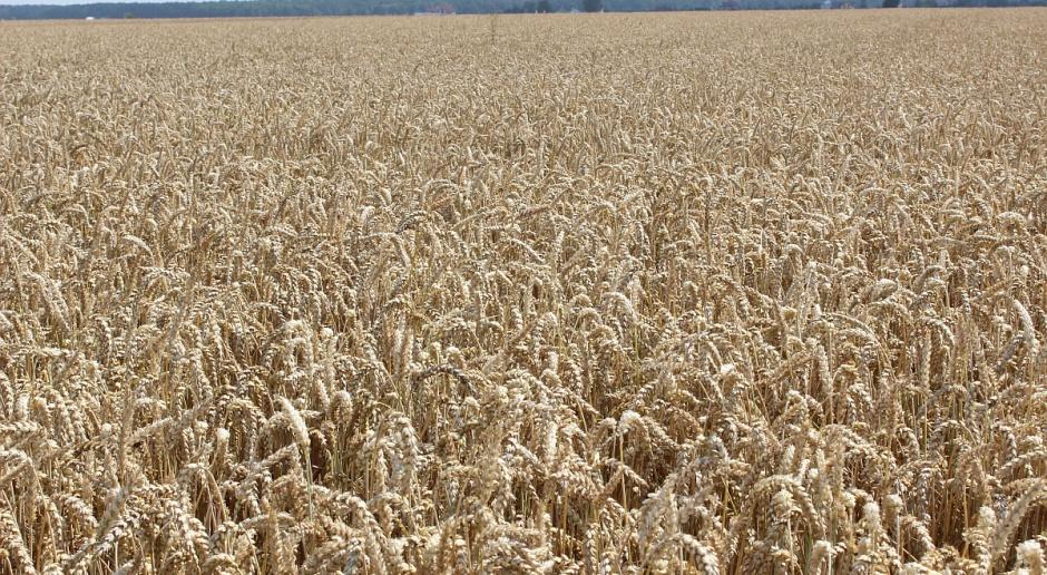 Ceny zbóż bez większych zmian