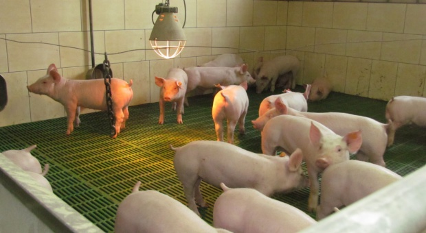 Czym kierować się przy wyborze preparatu do dezynfekcji chlewni?