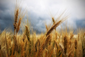 Czy można skarmiać porośniętym ziarnem zbóż?
