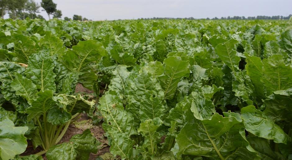 KZBPC: Dobry stan plantacji buraków cukrowych