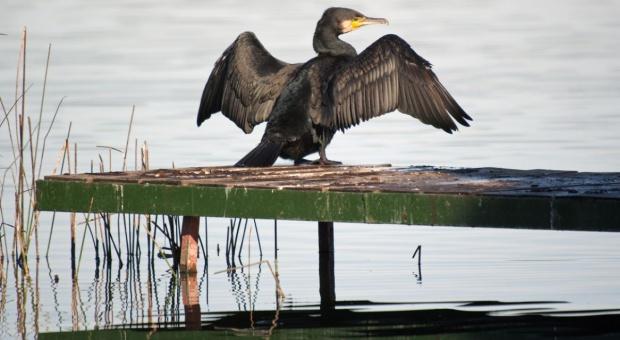 Warmińsko-mazurskie: Gospodarstwom rybackim wolno odstrzelić 1,6 tys. kormoranów