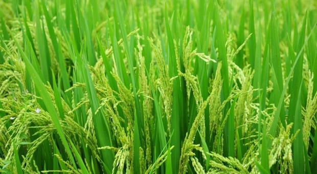 Ryż oszczędny i ekologiczny