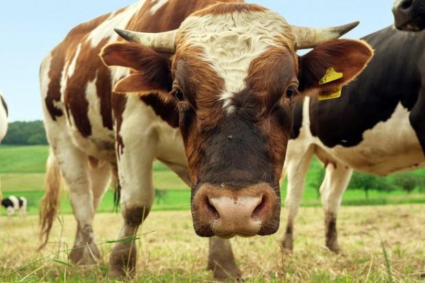 Brytyjska wołowina wraca do USA po 20 latach