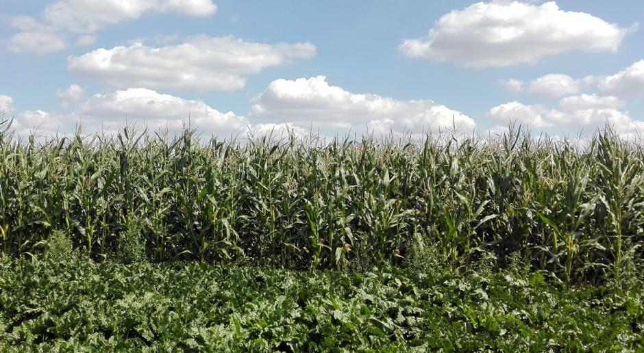 Kukurydza idzie na rekord