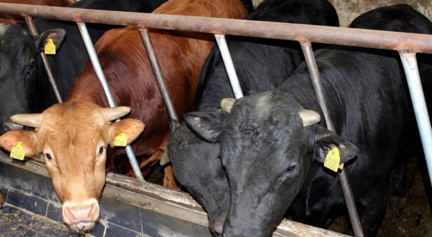 Cena bydła rośnie