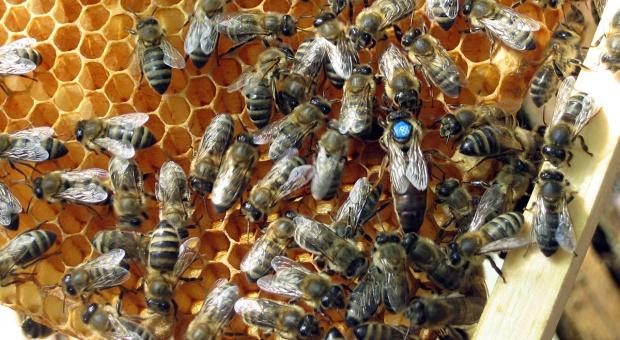 8 sierpnia obchodzimy Dzień Pszczół