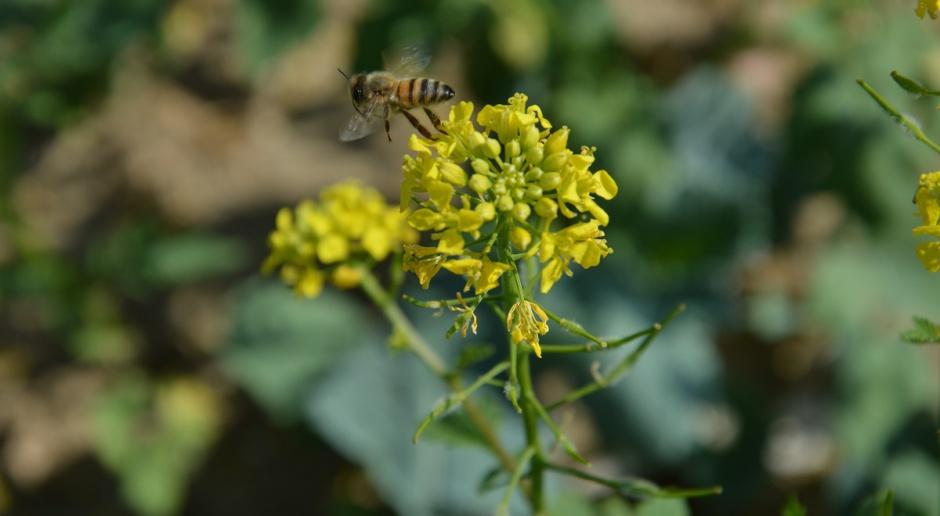 Ochrona rzepaku musi być skuteczna i bezpieczna dla pszczół
