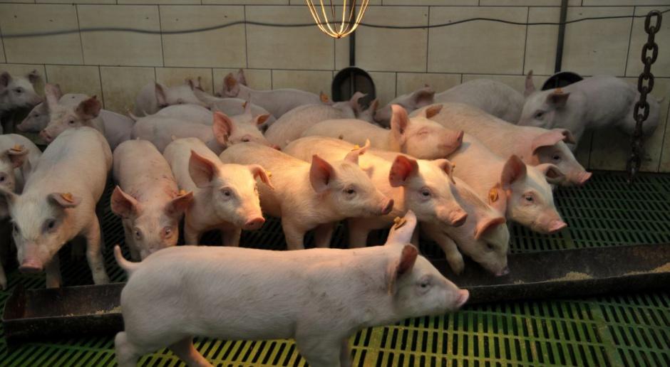 Co zawiera projekt programu wsparcia rynku wieprzowiny?