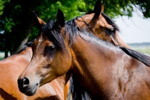 ANR: Liczymy na 2-2,5 mln euro z aukcji koni