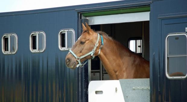 GIW: Nie ma rozmów z Japonią nt. eksportu koni