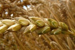 USDA: Rosja wyeksportuje więcej pszenicy niż UE