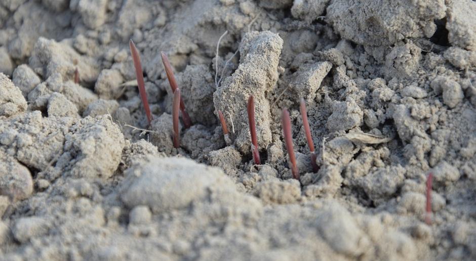 Przedplon wpływa na plon i jakość ziarna pszenicy