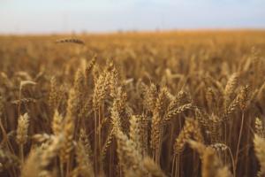 USDA: Sierpniowa prognoza dla rynku pszenicy