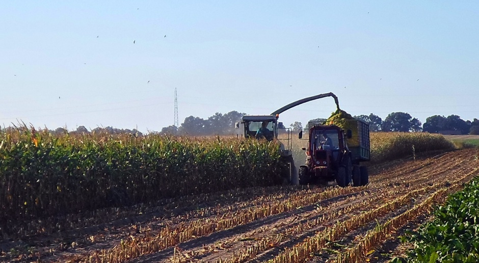 Centrum kraju i Kujawy: Kukurydza cięta na kiszonkę
