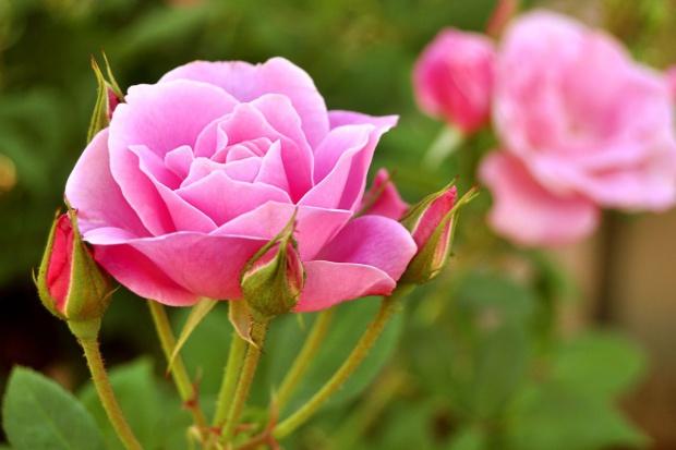 Święto Róży odbędzie się we wrześniu w Kutnie