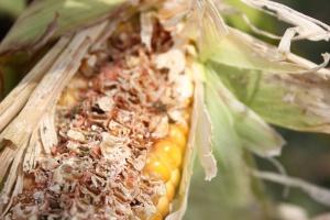 Na uszkadzanych ziarniakach rozwijają się grzyby pleśniowe; Fot. Anna Kobus