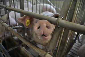 Ceny w skupach świń na stabilnym poziomie