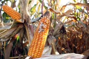 Fuzarioza kolb już widoczna w kukurydzy