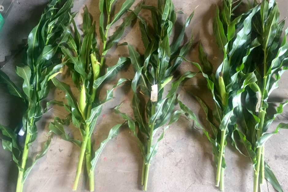 Do badania wybiera się kilka reprezentatywnych  roślin kukurydzy. Fot; Limagrain