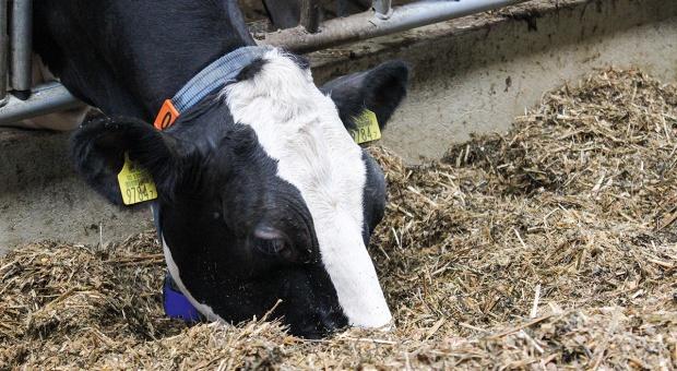 Zachowania pokarmowe krów mlecznych