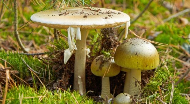 Uwaga grzybiarze! W przypadku zatrucia grzybami ważna jest szybka reakcja