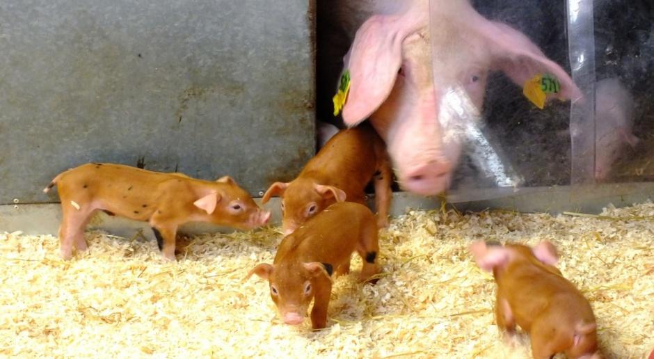 Dania: Wzrósł eksport żywych świń, spadły uboje