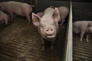 Ceny świń trzymają się mocno
