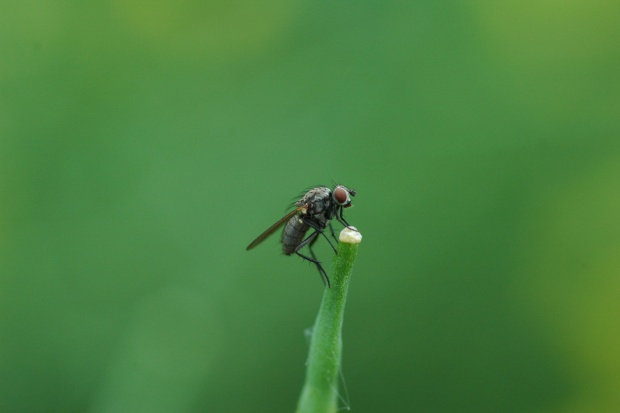 Śmietka kapuściana – poznaj biologię szkodnika
