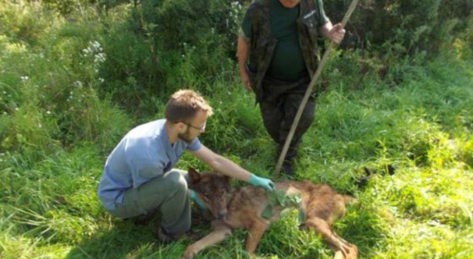 Uratowany przez leśników wilk odzyskał już wolność