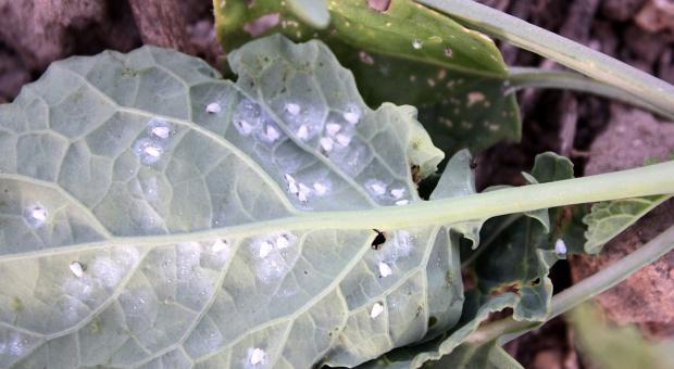 Mączlik warzywny atakuje rzepak