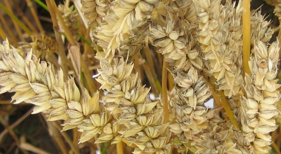 Najbardziej plenne w 2016 r. odmiany pszenicy ozimej
