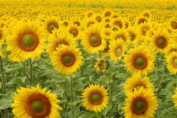 Rosja: Spodziewane rekordowe zbiory słonecznika i soi