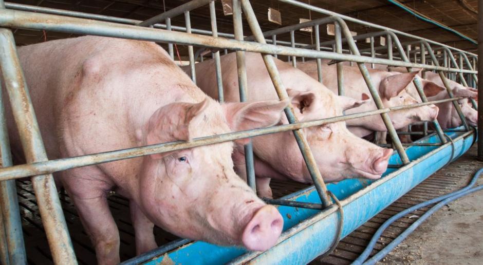 W piątek w Senacie specustawa ws. afrykańskiego pomoru świń