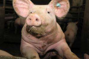 Kiedy nie będzie nierejestrowanych hodowli świń?