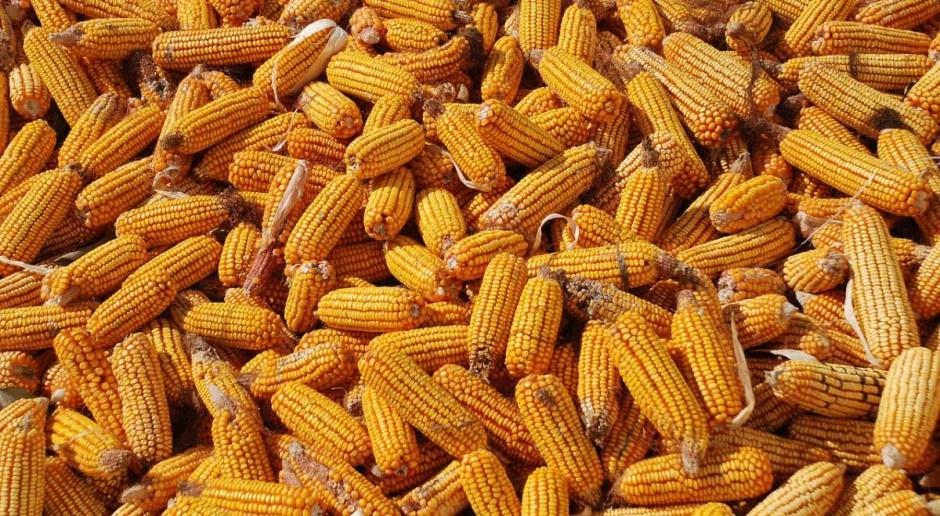 Bezpieczne zakiszanie ziarna kukurydzy