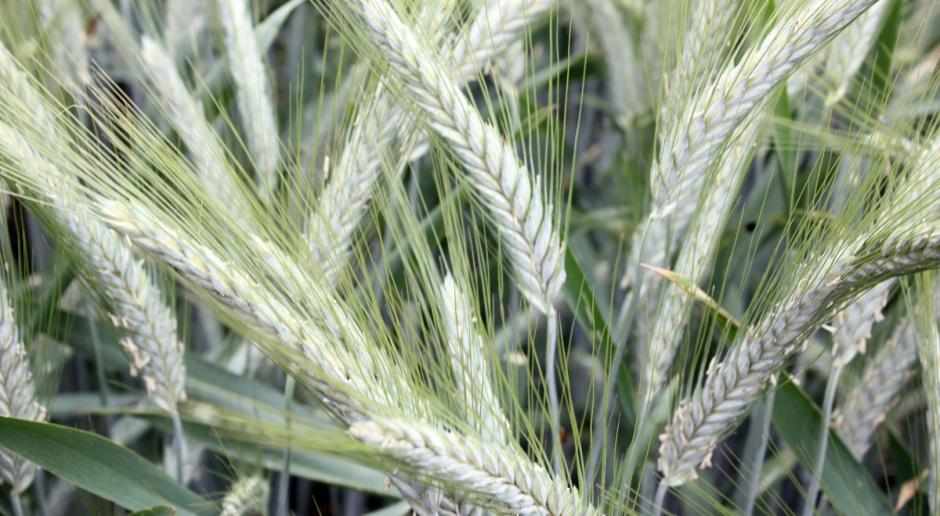 Najwyżej plonujące w 2016r. odmiany pszenżyta ozimego