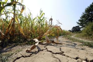 Ardanowski: Suszą dotkniętych będzie ok. 2 mln ha upraw