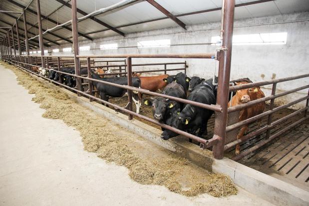 Jak utrzymywać bydło mięsne?