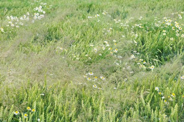 Czasami herbicyd nie działa - część I