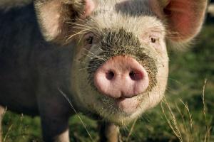Czy likwidowanie hodowli jest najlepszym sposobem walki z ASF?