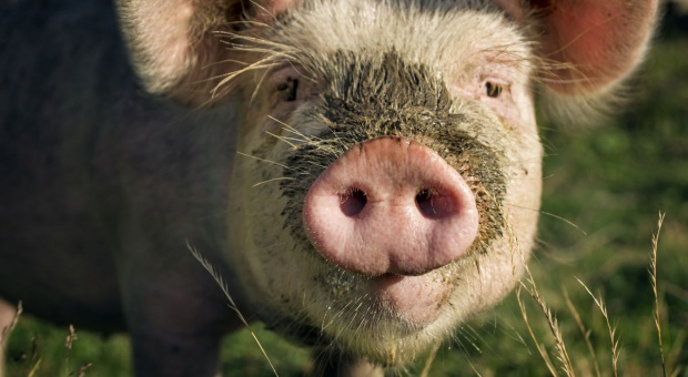 Przywiązała świnię do drzewa, odpowie za znęcanie