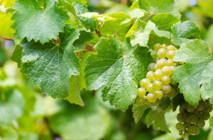 Zbiory winogron ożywiają hiszpańską turystykę