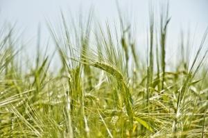 Brak zdecydowanego kierunku notowań zbóż