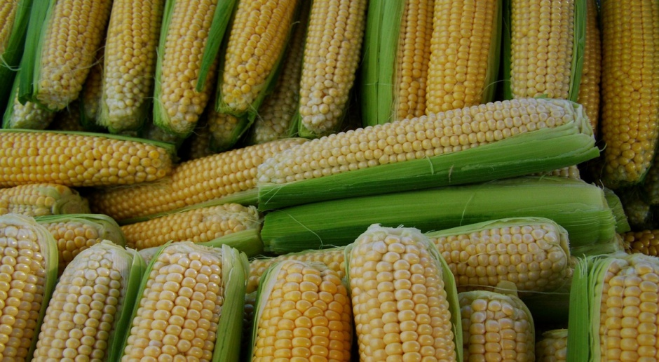 KE zatwierdziła jedenaście odmian genetycznie zmodyfikowanej kukurydzy