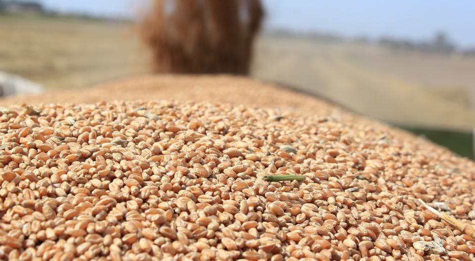 COBORU: Plonowanie pszenicy ozimej – ujęcie regionalne