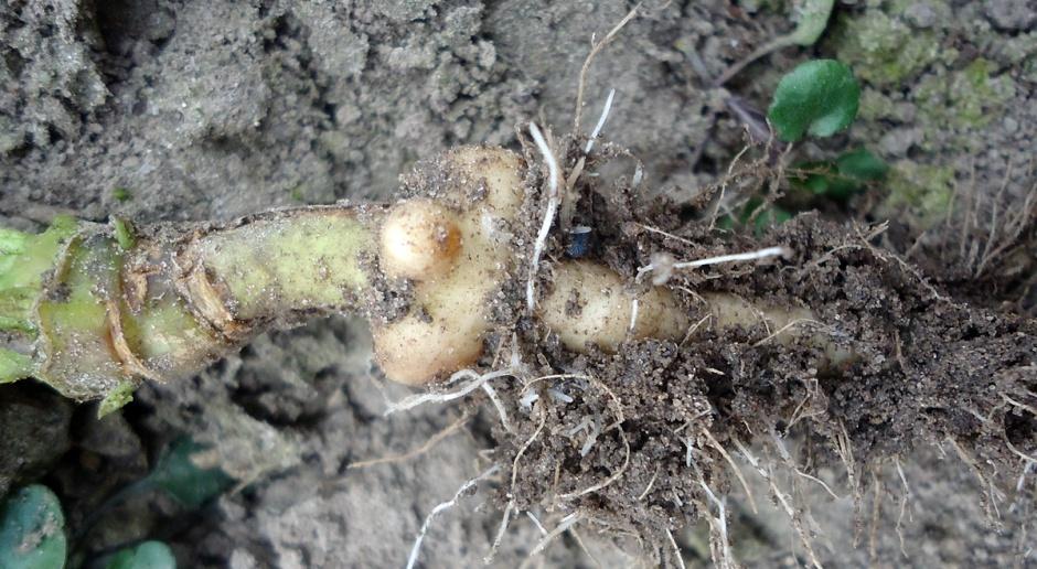 Na plantacjach rzepaczanych pojawił się chowacz galasówek