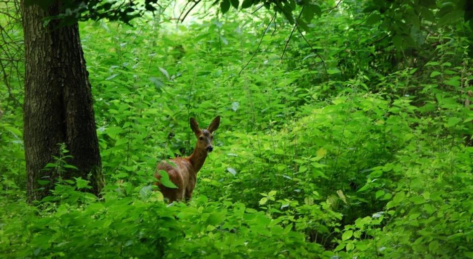 Rośnie liczba zwierzyny łownej i… rosną odszkodowania