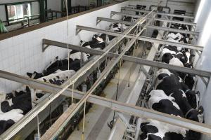 Rolnicy w UE deklarują ograniczenie produkcji mleka w zamian za 150 mln euro
