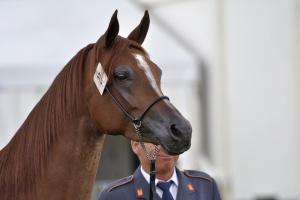 W tym tygodniu wybór nowego prezesa stadniny koni w Michałowie