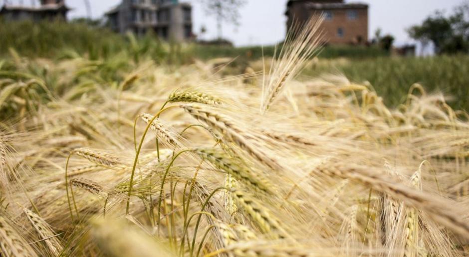 GUS: Tegoroczne zbiory zbóż ocenia się na 29,9 mln ton